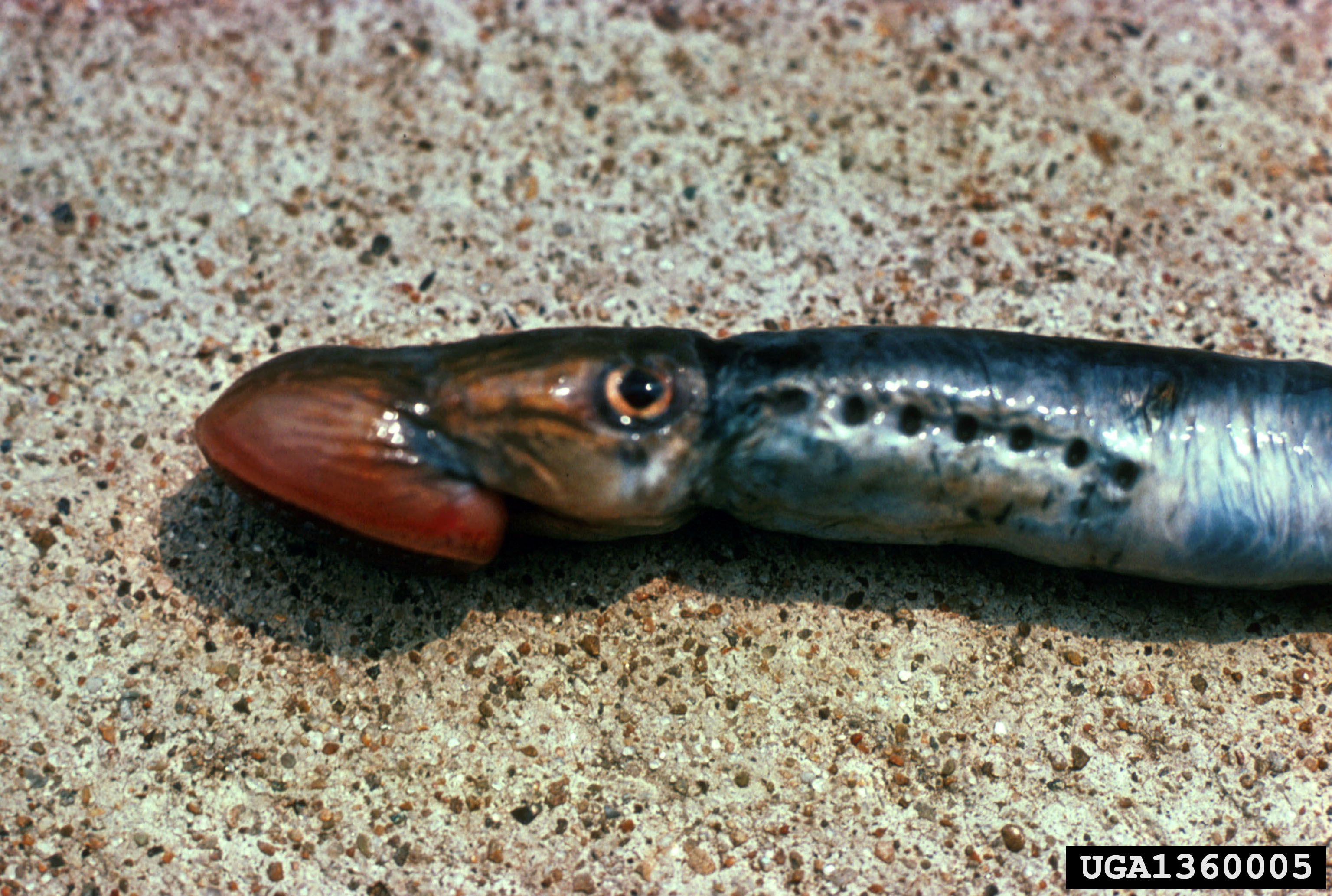 Sea Lamprey (Lee Emery, USFWS, bugwood.org)