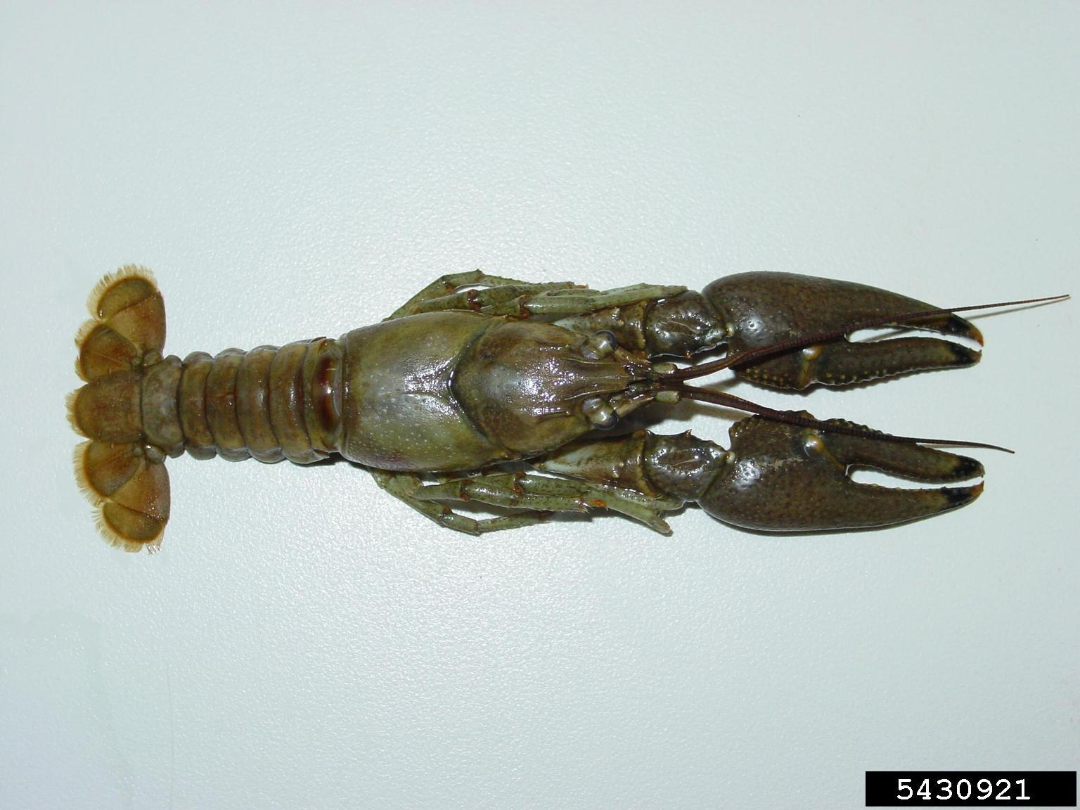 Rusty Crayfish (USGS Archive, USGS, Bugwood.org)