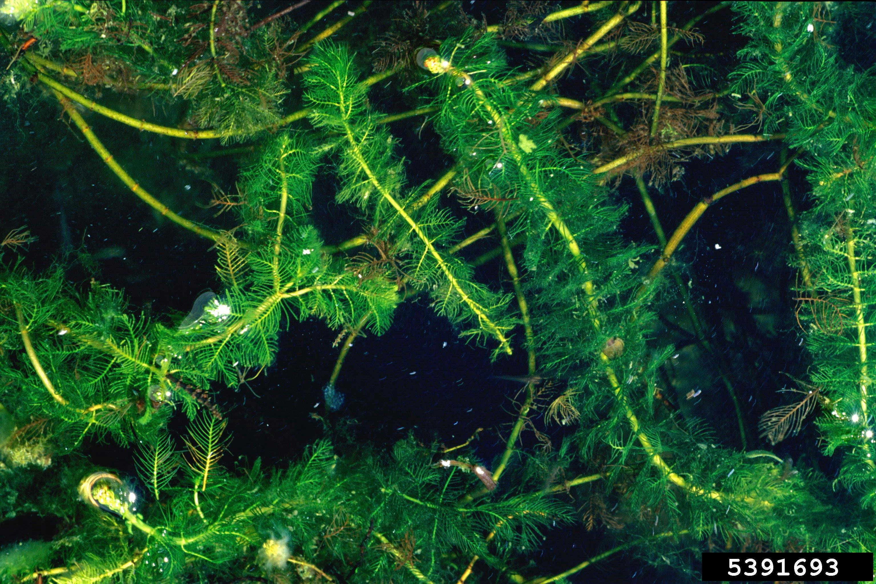 Eurasian Water Milfoil (Barry Rice, Sarrecenia.com, Bugwood.org)