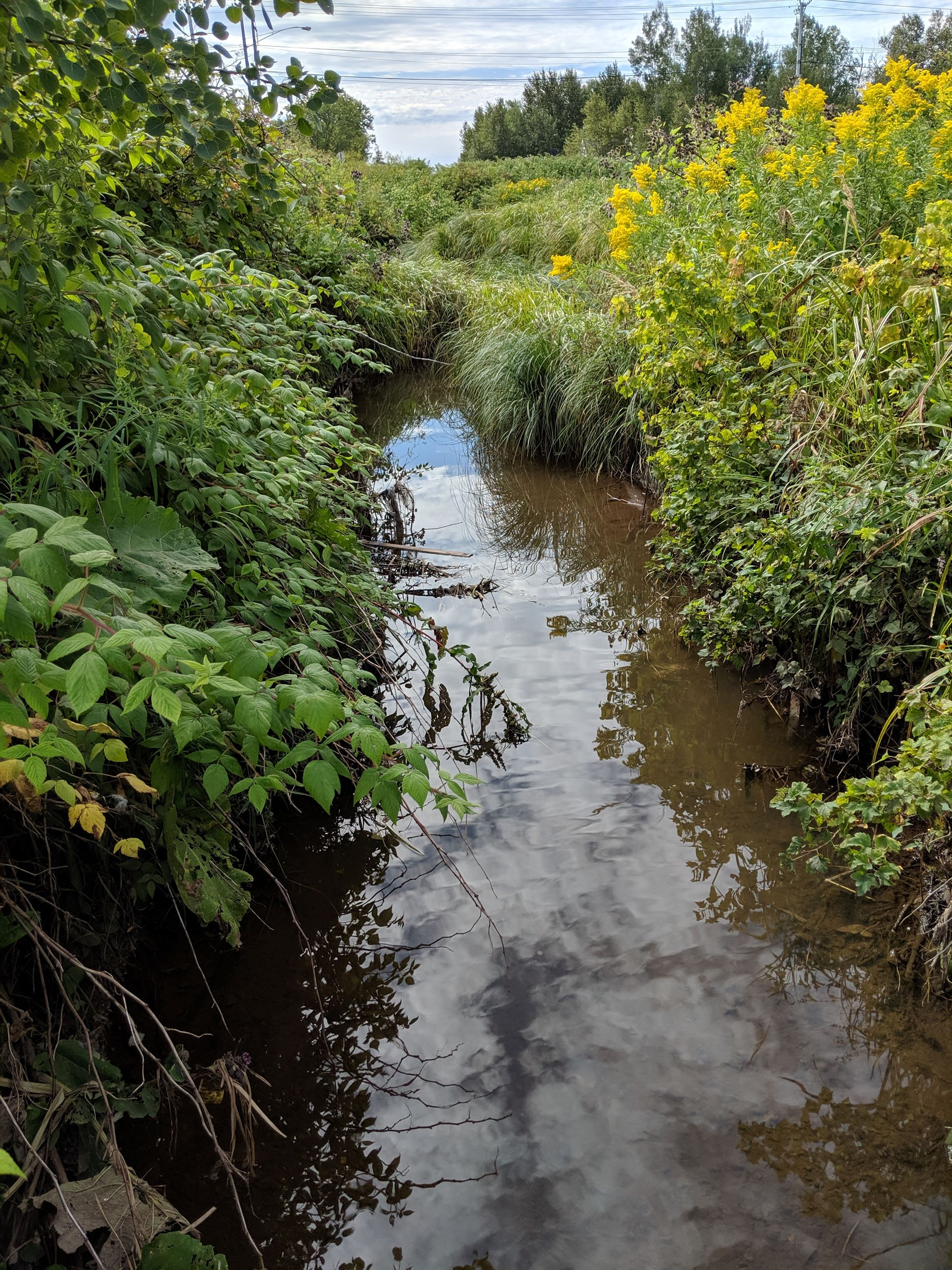 View of Faxon Creek, a small creek with tall, green healthy plants growing along stream. Creek is clear, but still a little brown.